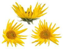 Three isolated sunflower small blooms Royalty Free Stock Photos