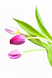 Tulips. Three isolated tulips with  green leafs Stock Photos