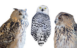 Three isolated on white owls Royalty Free Stock Photo