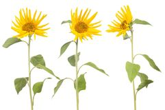 Three isolated on white small sunflowers Royalty Free Stock Image