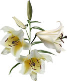 Three isolated white and yellow lily flowers Stock Photography