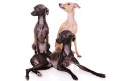 Three Italian greyhound Stock Image