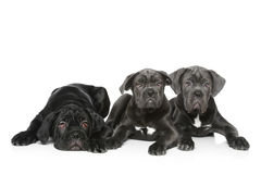 Three italian mastiff puppy Stock Images