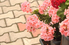 Three Ivy Geraniums Royalty Free Stock Photography