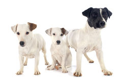 Three jack russel terrier Stock Photography