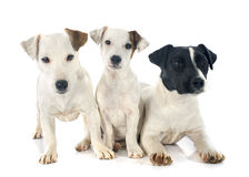 Three jack russel terrier Stock Images