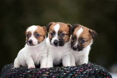 Three jack russell terrier puppies posing outdoors. Young jack russell terrier puppy outdoors stock photo