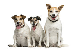 Three Jack Russell Terrier sitting Stock Photography