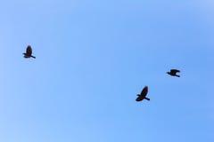 Three jackdaws in flight Royalty Free Stock Photos