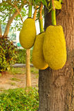 Three jackfruits Stock Photo
