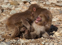Three Japanese macaque younsters playing Stock Photography