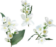Three jasmin flower branches on white illustration Royalty Free Stock Images