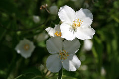 Three jasmine flowers Royalty Free Stock Images
