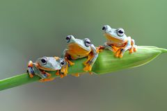 Javan tree frog on branch. Three Javanese frogs are cool to sit on a tree trunk Royalty Free Stock Photography