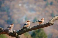 Jay. Three jays rest on tree trunk in mountain forest. Scientific name: Garrulus glandarius Stock Image