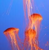Three  jellyfish in the aquarium Stock Photos