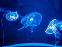 Three jellyfish in the blue light.  stock photos