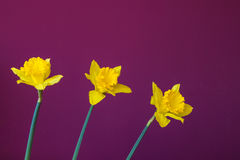 Three jonquil Royalty Free Stock Photography