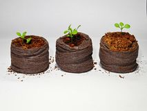 Three joung little spring sprout royalty free stock photo