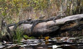 Free Three Juvenile American Alligators Basking On A Long In Minnies Lake; Okefenokee Swamp, Georgia Stock Photography - 178676272