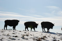 Three Juvenile Buffalo Bison Calves Walk on a Snowy Ridge Royalty Free Stock Photos