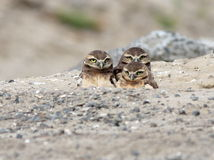 Three Juvenile Burrowing Owls Stock Photo