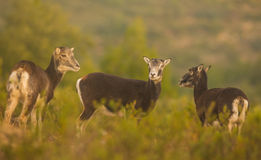 Three juvenile Mouflon female Royalty Free Stock Image