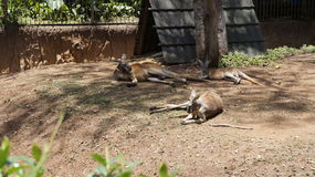 Three kangaroos lie in the shade.  Royalty Free Stock Images