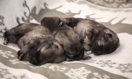 Three keeshond puppies at the age of one week. Are sleeping on a white blanket stock images