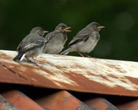Three kids White Wagtail Motacilla alba Stock Photography