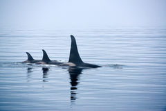 Three Killer whales with huge dorsal fins at Vancouver Island Royalty Free Stock Image