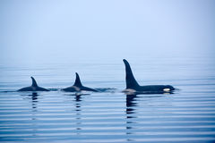 Free Three Killer Whales With Huge Dorsal Fins At Vancouver Island Stock Photography - 45910482