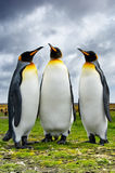 Three King Penguins Stock Images