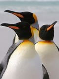 Three King Penguins, Falkland Islands stock photos