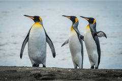 Three king penguins looking in same direction Royalty Free Stock Photos