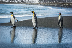 Three king penguins with reflections on beach Stock Photo