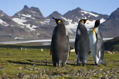 Three King Penguins, South Georgia, Antarctica. Three King Penguins on the shores of Salisbury Plain, South Georgia Stock Images