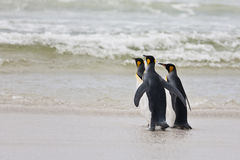 Three king penguins Stock Photos