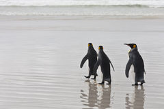 Three king penguins Stock Photography