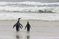 Three king penguins Royalty Free Stock Images