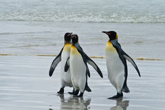 Three king penguins Stock Image