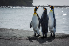 Three king penguins stretching necks on beach stock images