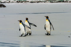 Three king penguins walk Royalty Free Stock Photos