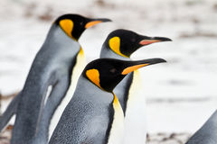 Three King penguins walking on the beach closeup Stock Photo