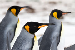 Three King penguins walking on the beach closeup Stock Images