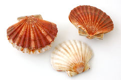 Three king scallops, saint jacques on white background Royalty Free Stock Images
