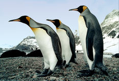 We Three Kings. King penguins photographed on Salisbury Plain, South Georgia in the Antarctic Stock Photos