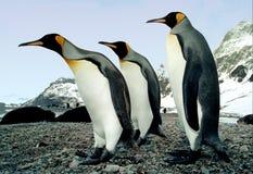 We Three Kings. King penguins photographed on Salisbury Plain, South Georgia in the Antarctic stock photos