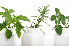 Three kitchen herbs. Focus on left and right herb royalty free stock image