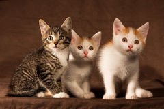Three kitten Royalty Free Stock Photos